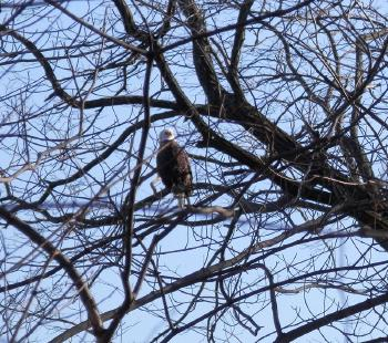 Bald eagle at Croton Point Park in tree along river, looking South. Well, he's looking North.