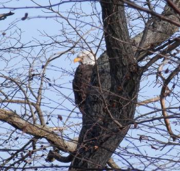 Bald eagle at Croton Point Park, in profile but feels like he's looking at you.
