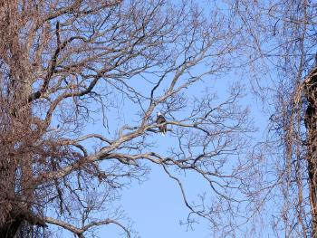 Bald eagle at Croton Point Park, partial zoom out