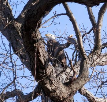 Bald eagle at Croton Point Park, another favorite © 2018 Peter Wetzel.