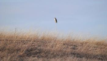 Red-tailed hawk at Croton Point Park, on hill (aka capped landfill)