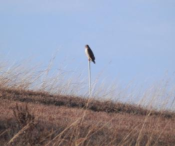 Red-tailed hawk at Croton Point Park