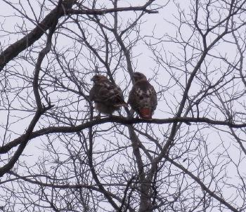 Red-tailed hawks at Croton Point Park, mating pair in tree near pool © 2018 Peter Wetzel.