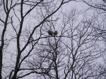 Red-tailed hawks at Croton Point Park, partial zoom out