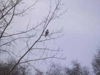 Red-tailed hawk at Croton Point Park, second one a little further along same path