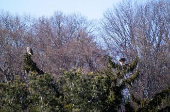 Red-tailed hawks in Croton on Hudson (upper village). Mating pair moved to the area in past year or two.