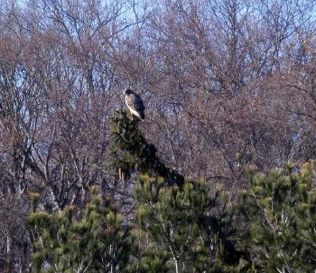 Red-tailed hawk in Croton on Hudson (upper village)