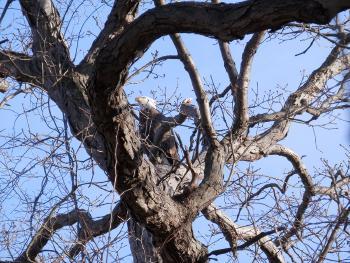 Bald eagle in Croton Point Park