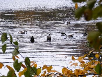 Canadian Geese at the New Croton Reservoir