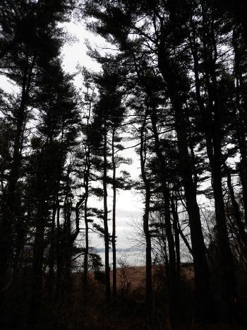 Pine grove at Croton Point Park
