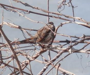 Unknown smallish bird in brush along Hudson River (about robin-sized)