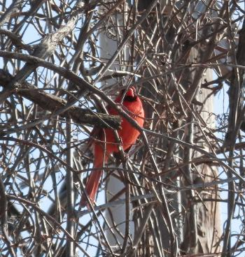 Cardinal in tree along path behind Half Moon Bay complex © 2019 Peter Wetzel.