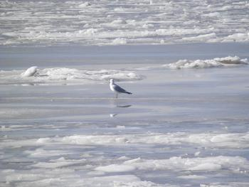 A gull out on the frozen Hudson River