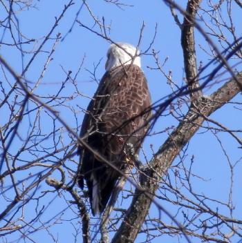 Bald eagle at Croton Point Park