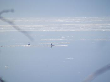 My guestimate is two juvenile bald eagles on an ice flow on the Hudson River