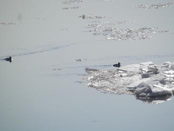 Ducks to frigid water (Hudson River)