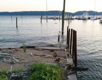 Ducks in a row. Ducks on shore of Hudson River.