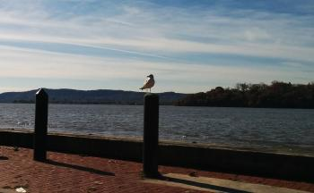 Seagull on post along Hudson River at Verplanck Point.