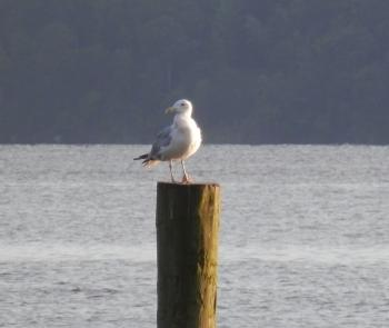 Seagull on post along Hudson River.