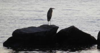 Great Blue Heron along Hudson River at Croton Landing park.