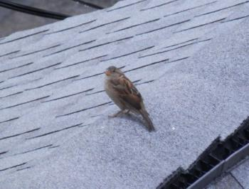 Neighborhood sparrow on rooftop.