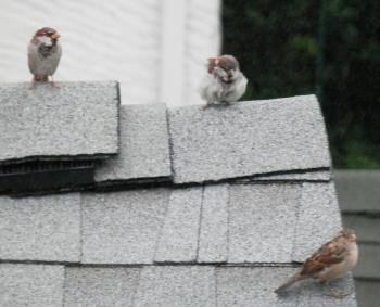 Neighborhood sparrows on rooftop.