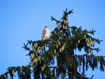 Red-tailed hawk in nearby pine tree. Croton on Hudson (upper village).