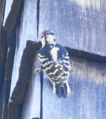 Woodpecker outside my bedroom wall.