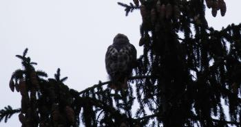 Red-tailed hawk on tree top. Croton on Hudson (upper village).