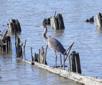 Great Blue Heron along Hudson River.