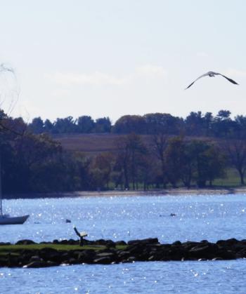 Great Blue Heron in flight over Hudson River.
