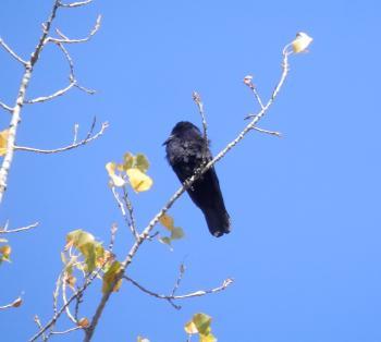 Crow in tree overlooking Haverstraw Bay.