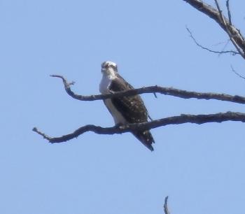 Osprey in tree at Croton Point Park.