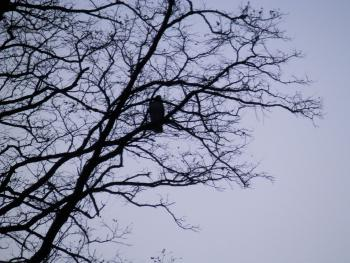 Red-tailed hawk in Croton on Hudson (upper village).