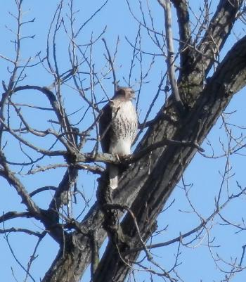 Red-tailed hawk in Croton Point Park.