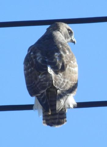 Red-tailed hawk in Croton on Hudson overlooking Rt 9 exit.