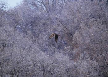 Red-tailed hawk in flight in Croton on Hudson (upper village).