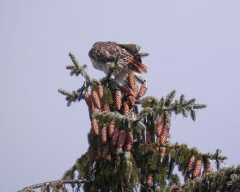 Red-tailed hawk on top of ice-covered tree in Croton on Hudson (upper village).