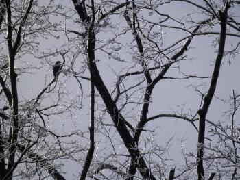 Red-tailed hawk perched in ice-covered tree in Croton on Hudson (upper village).