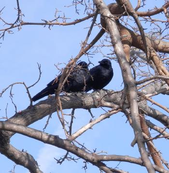 Crows in tree next to Croton River and train station.