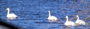 Swans in New Croton Reservoir.