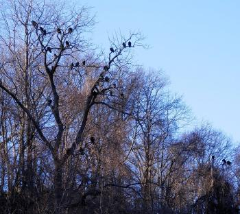 Black vultures (maybe some turkey vultures as well) in trees in upper village of Croton on Hudson.