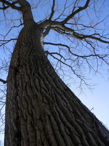 Old sprawling tree.