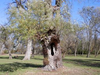 Holy tree.