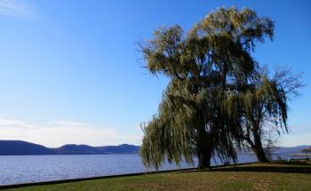 Weeping Willow on banks of Hudson River at Croton Point Park.