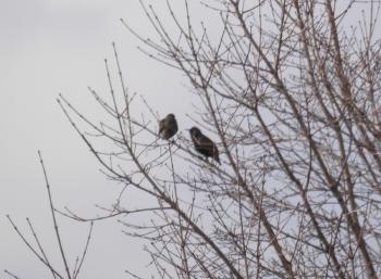 Pair of unidentified birds in a tree.