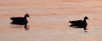 Canadian Geese on Hudson River, near Croton Yacht Club.