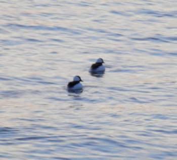 Buffleheads on Hudson River, near Half Moon Bay docks.