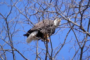 Bald eagle in Croton Point Park.