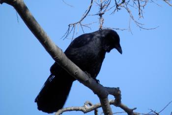 Crow in tree overlooking river.